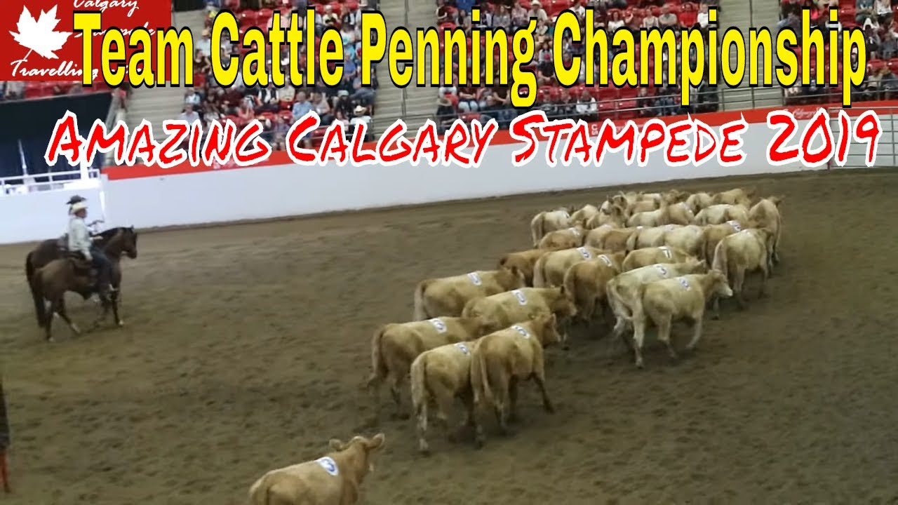 Amazing Calgary Stampede 2019 Team Cattle Penning