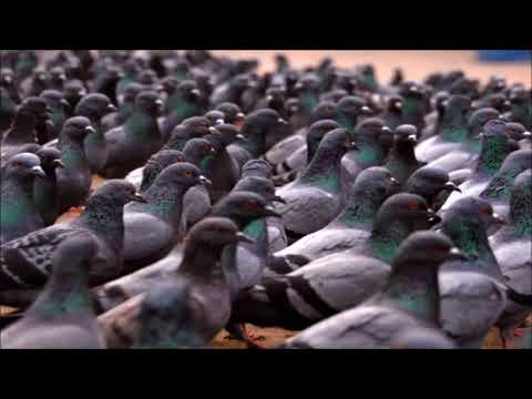 Pigeon Sounds | Free Sound Effects | Animal Sounds