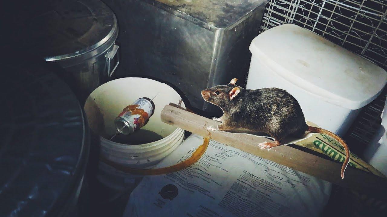 Diy rat trap does it work youtube