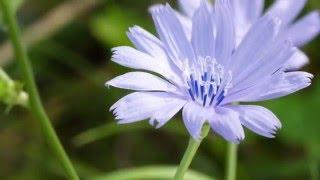 Bachblüte Chicory - Wegwarte