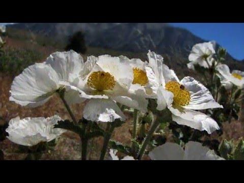 Flowers of the Sierra