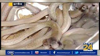 UP के कन्नौज में एक घर में निकले कई किंग कोबरा || News 24