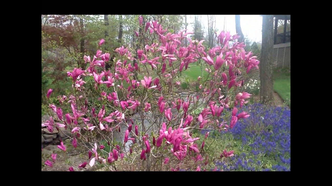 Best Flowering Shrubs Magnolia Jane Betty Youtube