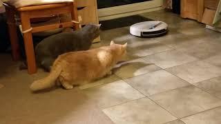 Коты первый раз видят робот-пылесос Часть 1.