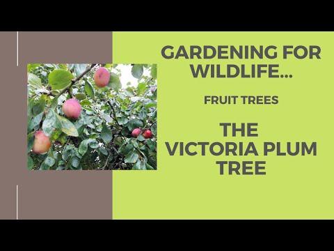 Gardening for wildlife…Fruit trees, The Victoria plum tree.