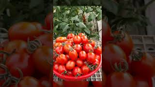 친환경대추토마토