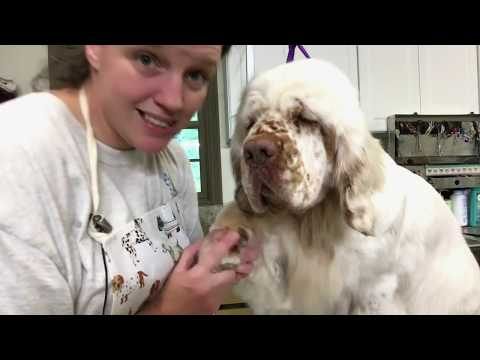 Clumber Grooming Tutorial