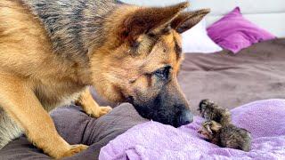 German Shepherd Meets Newborn Kittens for the First Time!
