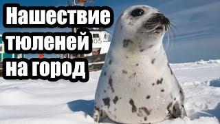 Нашествие тюленей на канадский город (Интересные факты о животных)
