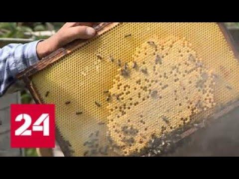 Яд с полей. Эксперты объяснили массовую гибель пчел - Россия 24