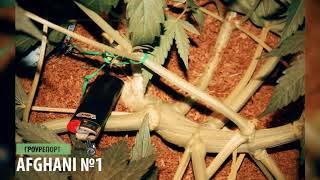 Гроурепорт выращивания марихуаны Afghani N1