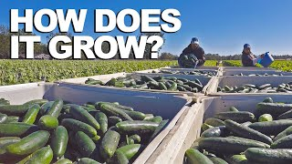 CUCUMBER  | How Does it Grow?