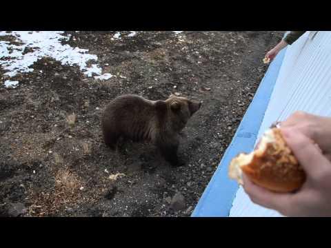 медведица пришла в