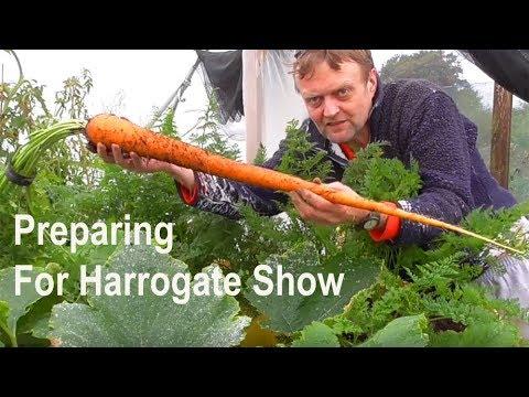 Allotment Diary : Harvesting some Veg for Harrogate Show