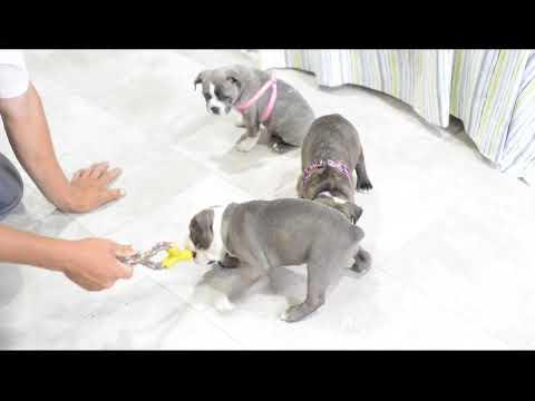 English Bulldog Mix Puppies For Sale