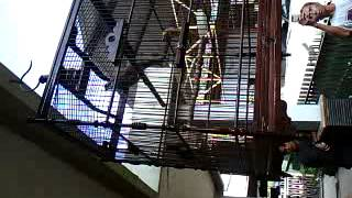 Video Suara Burung Cucak Rowo ASLI Harga 85 Jutaan .....