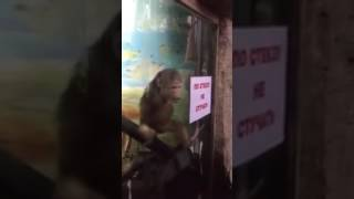 31 ceken maymun