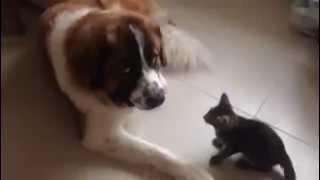 Смертельный номер с приставучим котёнком  Как уживаются кошка с собакой