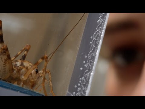 Johns Hopkins Cricket Research Could Lead to a New Generation of Robots