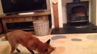 Lilly the pet fox playing