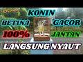 Konin Betina Gacor Cocok Buat Pancingan Konin Jantan  Mp3 - Mp4 Download