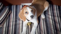 Max - Puggle Puppy - New home needed
