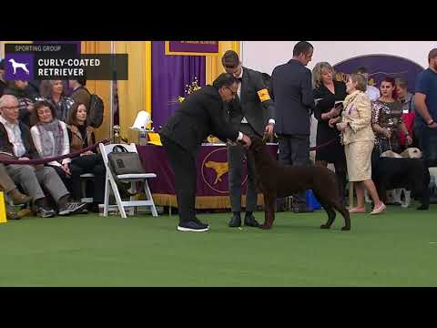 Curly-Coated Retrievers | Breed Judging 2020