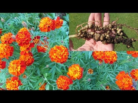 Treating Root knot nematode control using French marigolds & mustard greens..