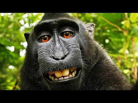 Wikipedia Refuses to Remove Monkey Selfie