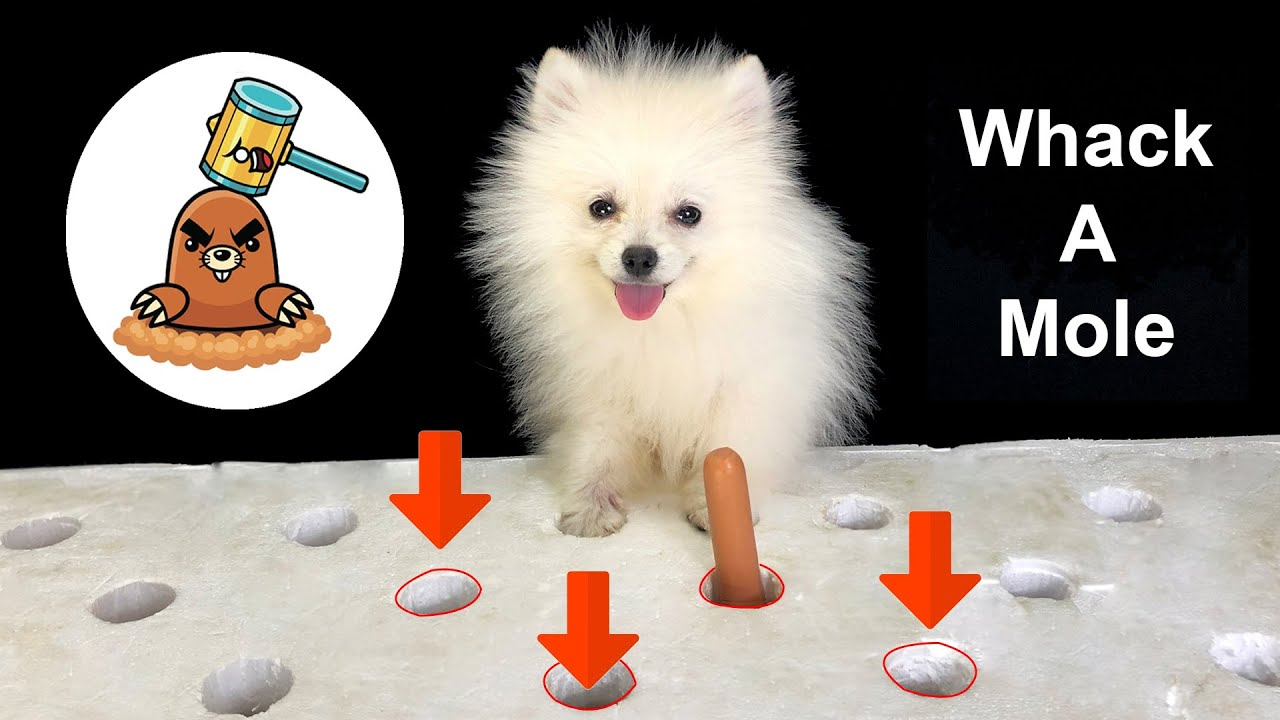 Amazing DIY Dog Toys For Pomeranian Puppies, Poodle Puppy, Munchkin Kitten | MR PET
