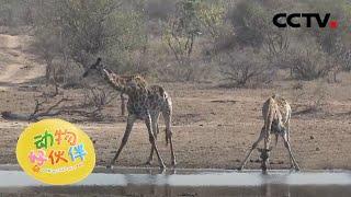 长颈鹿怎么喝水?20210106 |《动物好伙伴》CCTV少儿 - YouTube