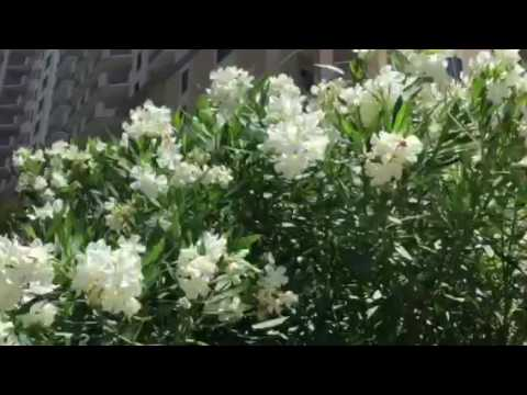 Tropical shrub blooms white flowers namethatshrub youtube tropical shrub blooms white flowers namethatshrub mightylinksfo