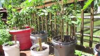 Saving Container Tomatoes: Frost, Stress & Purple Stems - The Rusted Garden 2013
