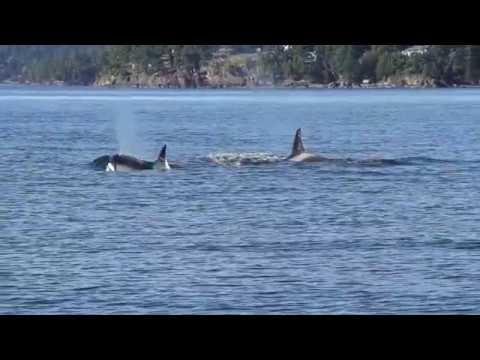Orca hunting seals & Humpbacks on May 22, 2017