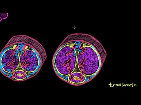 Khan Academy - Transport of Sperm via Erection and Ejaculation