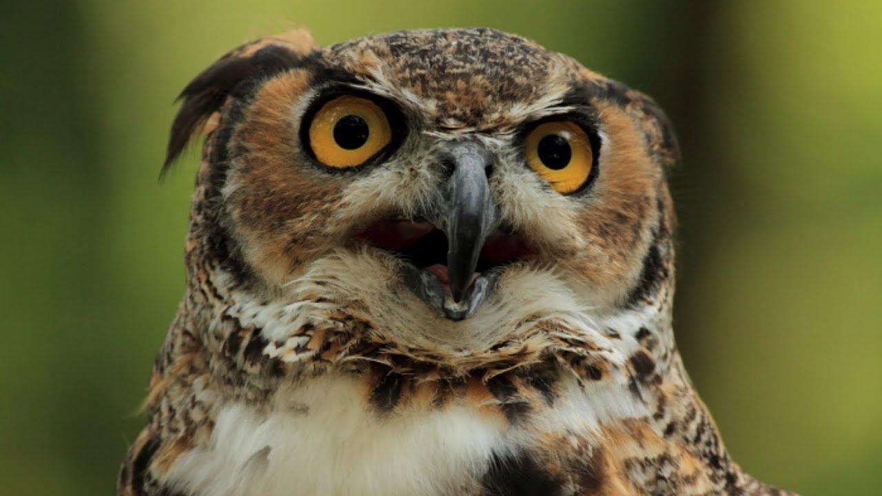 Owls Online