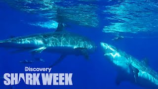 Great White Attacks Another Shark! | Shark Week