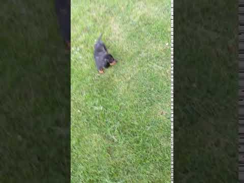 PuppyFinder.com : Miniature Dachshund!