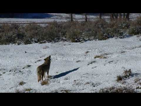 Singing Coyotes of Yellowstone