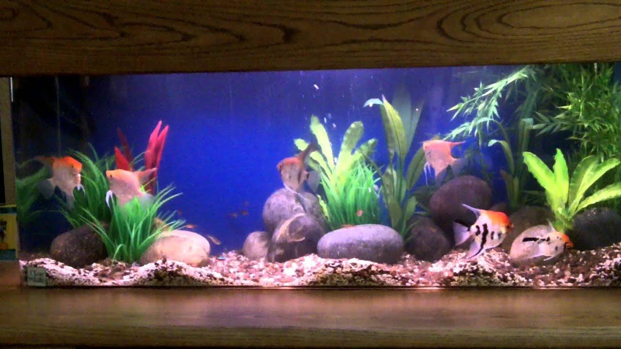 Freshwater angelfish tank setup