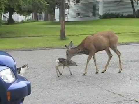 Mother Deer Attacks Dog And Cat Voice Over