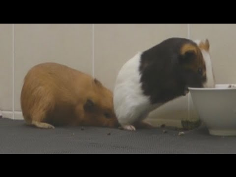 MALE & FEMALE GUINEA PIGS MEET/MATE FIRST TIME - YouTube