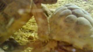 horny tortoise