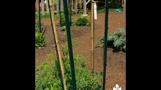 Cheap Ways To Stake Tomatoes & Vines |john Dromgoole |central Texas Gardener