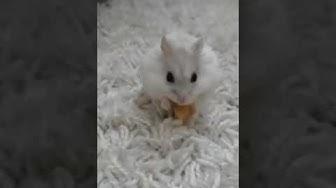 Kääpiöhamsteri syö omenaa!