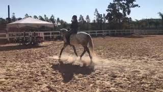Horizonte 8 anos, castrado  - Cavalos puro sangue Lusitanos - Coudelaria aguilar