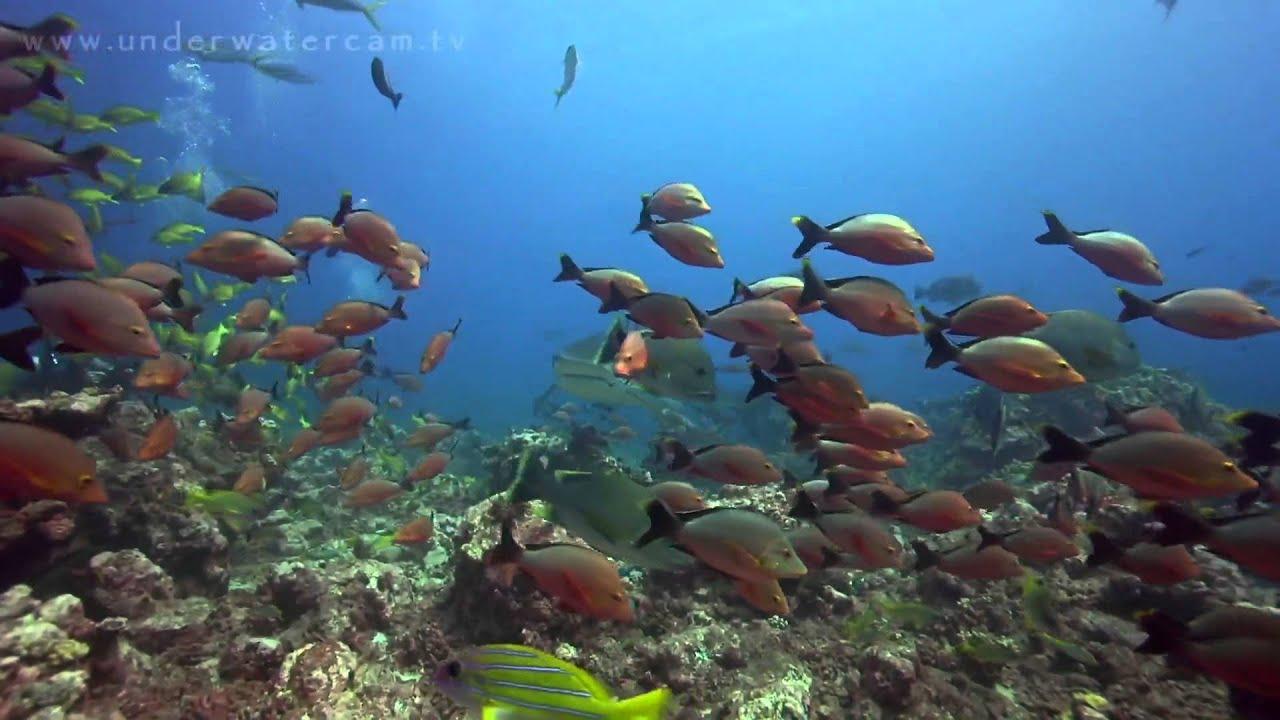 Diving Tahiti- Tiger Sharks And More ...