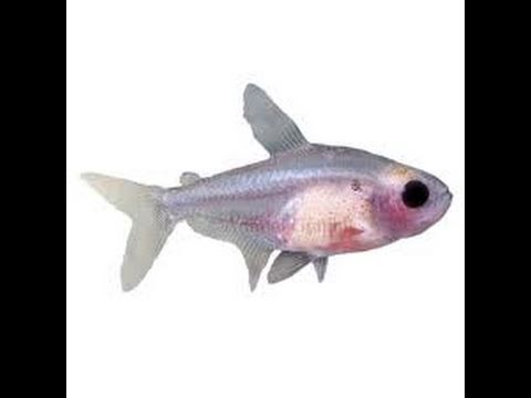 Transparent clear fish red belly x ray tetra youtube for X ray fish