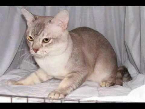 Burmilla cat 1