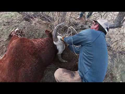 Wild Cattle